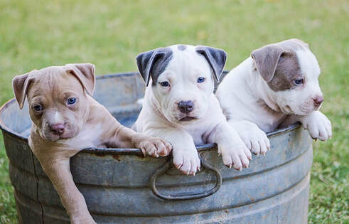 Picture of three puppies in a gray bucket looking in different directions. The background of the photo is trimmed grass